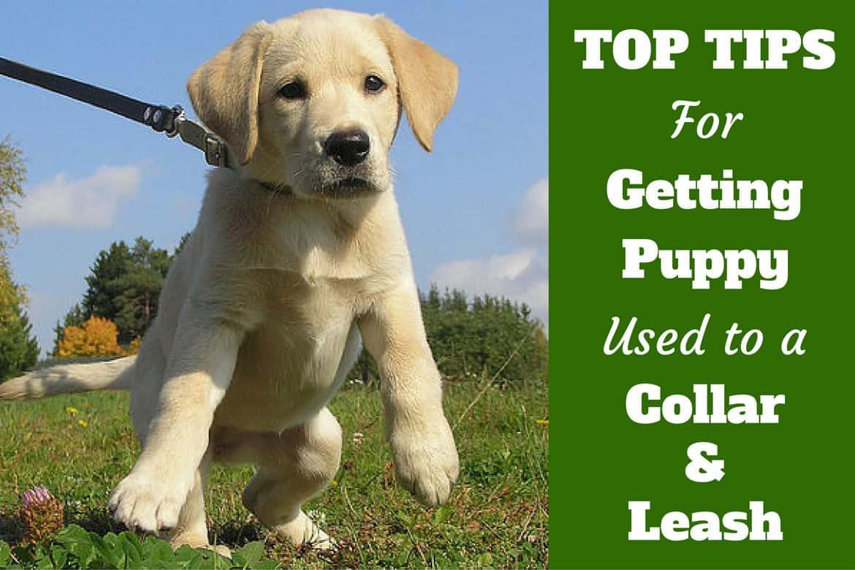 A Labrador puppy pulling hard on a leash