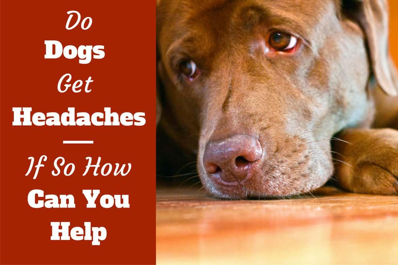 Do dogs get headaches written beside a sad looking choc lab