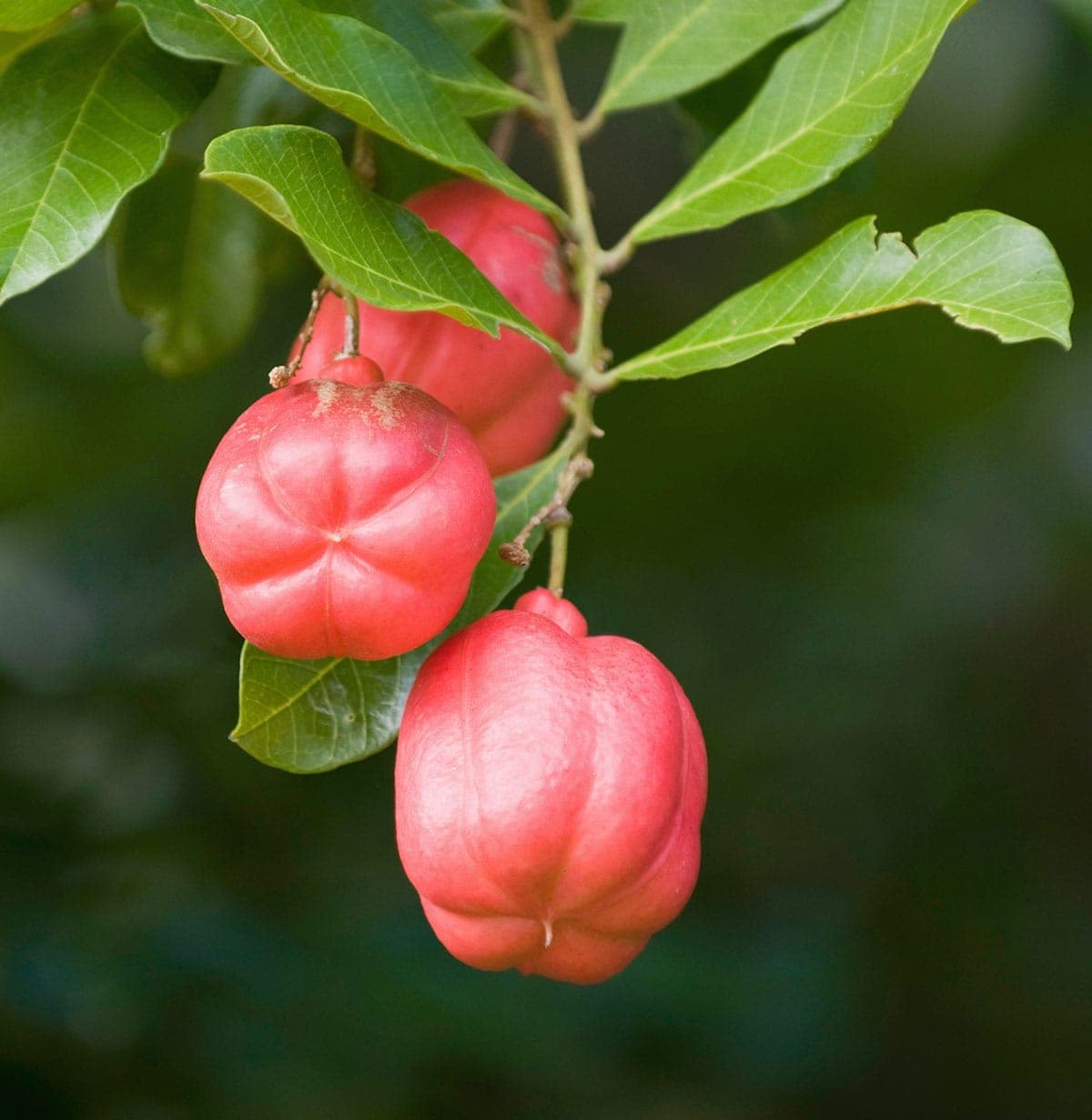 ackee fruits on a tree
