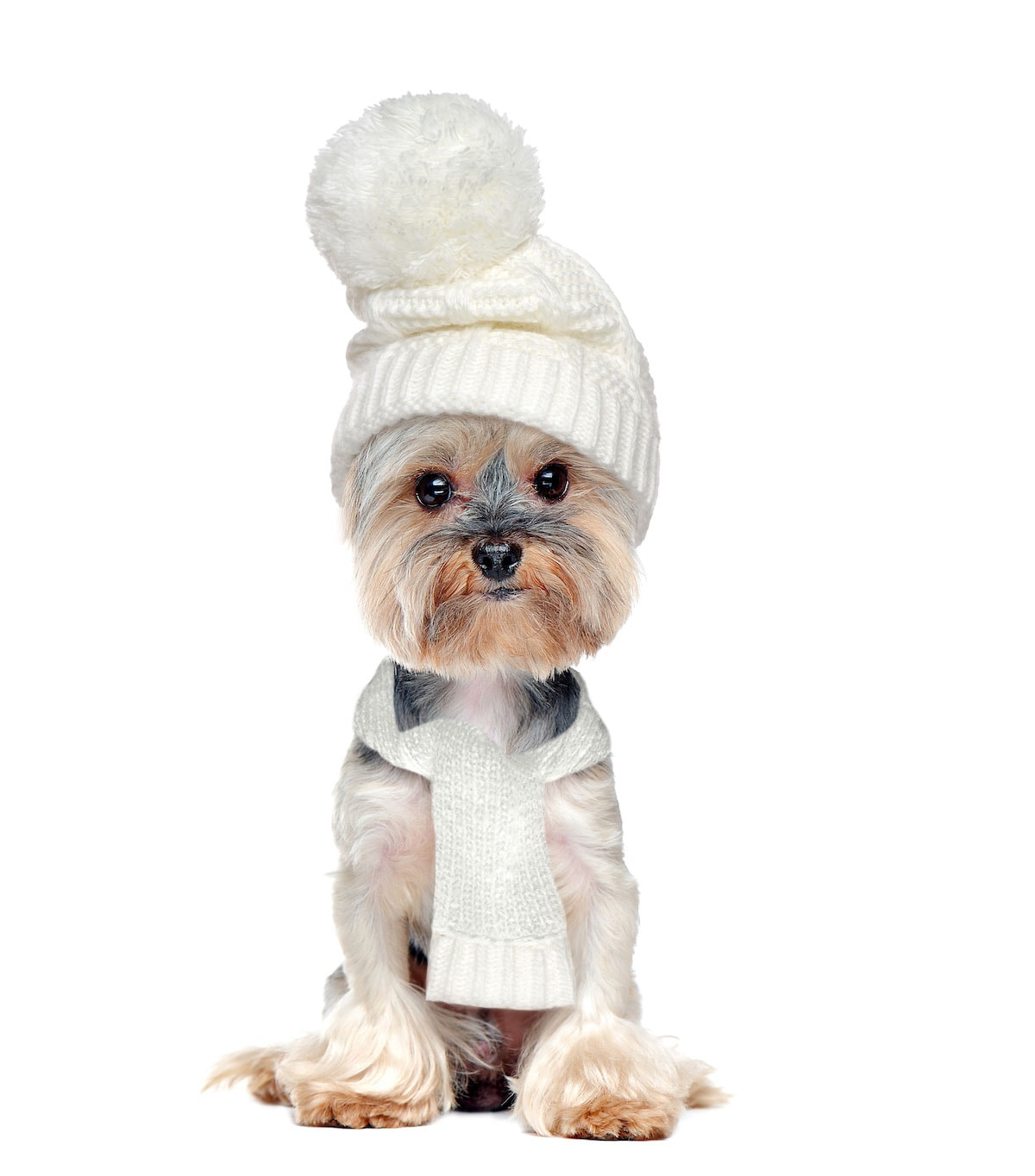 Morkie in a white hat