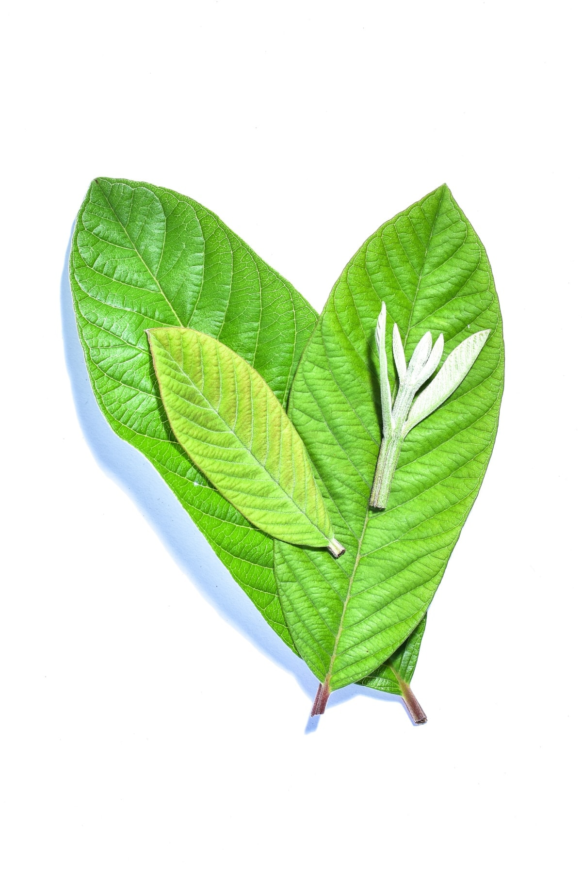 10 Benefits of Guava Leaves