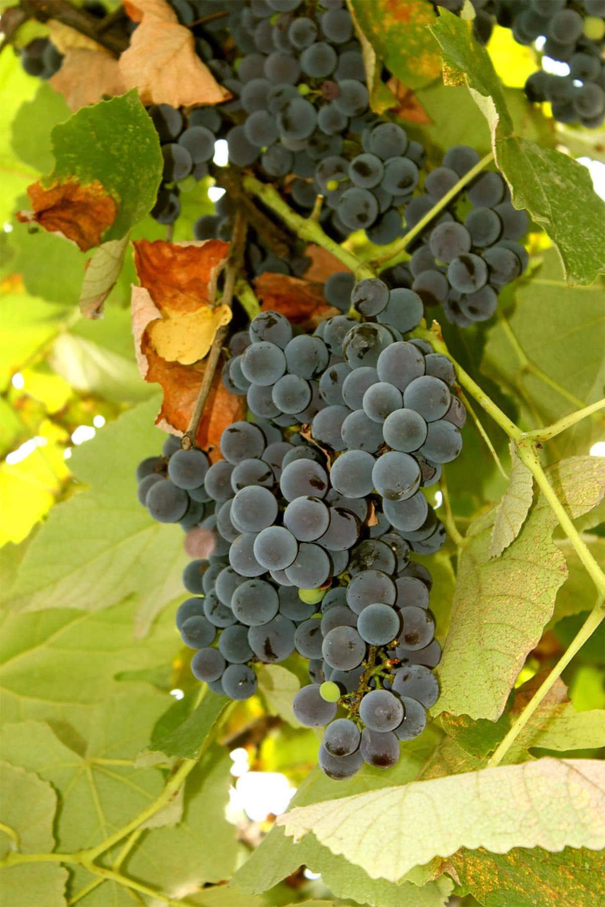 Xinomavro Grapes on grape vine