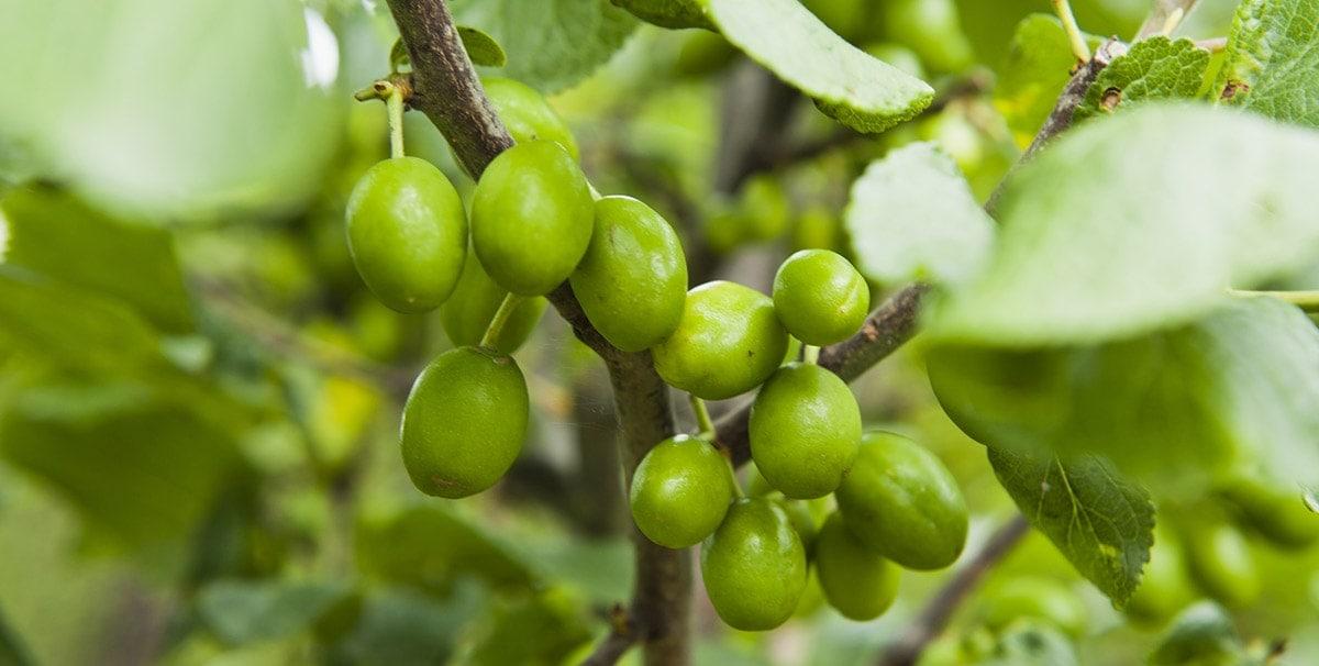Greengage fruits on tree