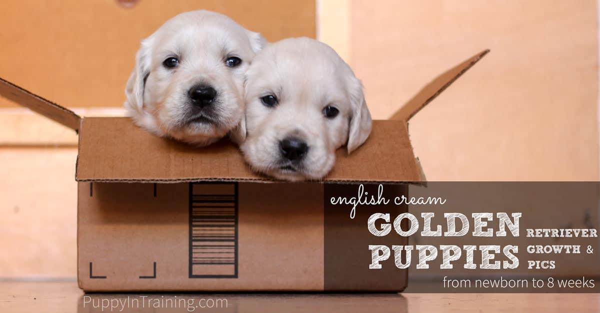 English Cream Golden Retriever Puppies Growth and Development - Newborn to 8 Weeks