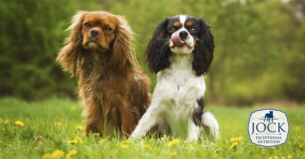 Know Your Breed - Cavalier King Charles Spaniel - Two Dogs