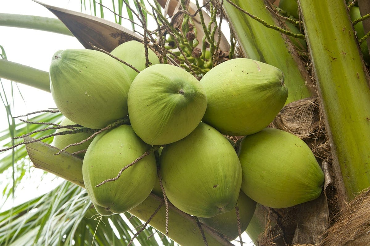 jelly coconut tree