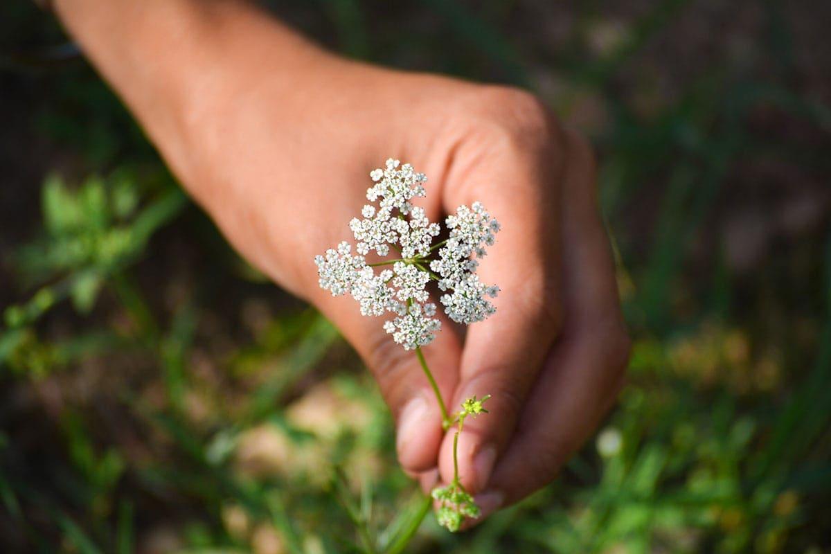cumin plant, hand picking cumin flower