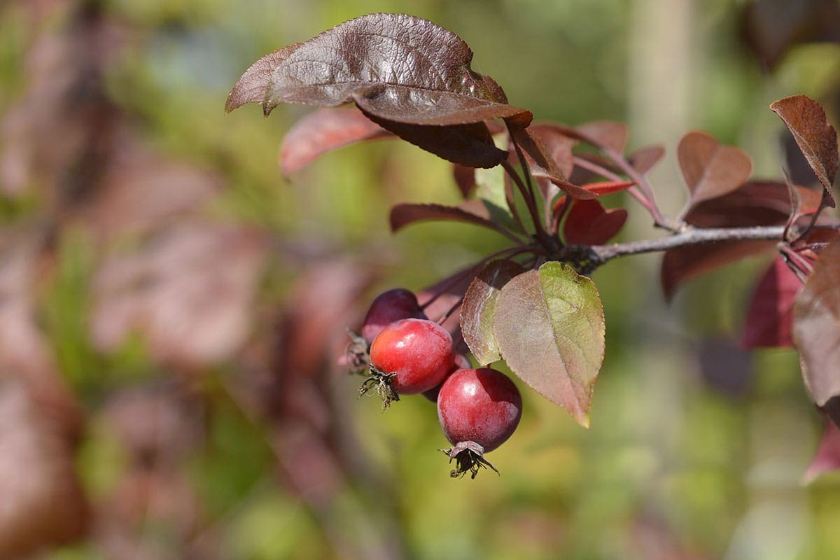 crabapples on a tree