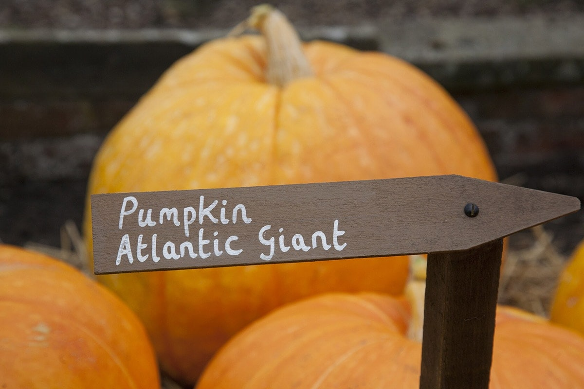 atlantic giant pumpkin stacked in a wooden cart