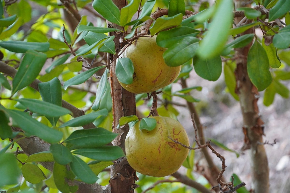 Xylocarpus Granatum Fruit on tree