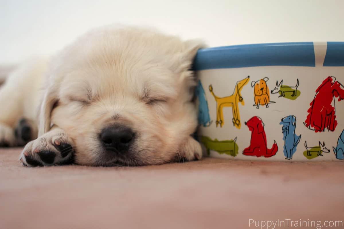English Cream Golden Retriever Puppy Growth And Development Week 5