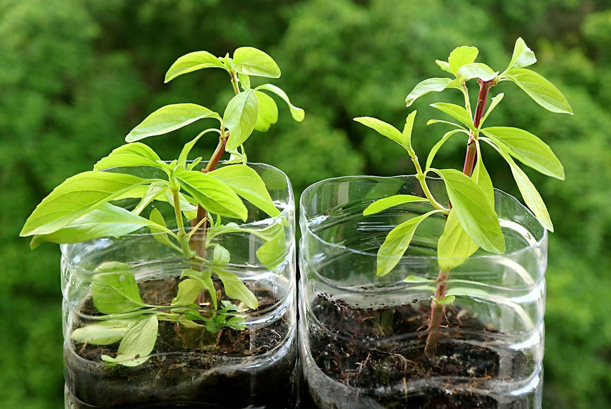 growing thai basil in plastic