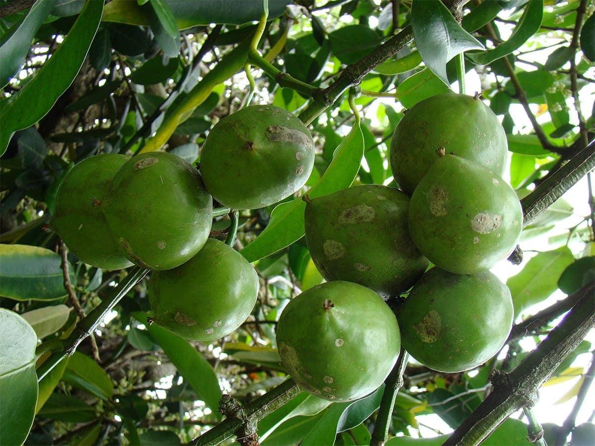 GAMBOOGE FRUIT on a tree