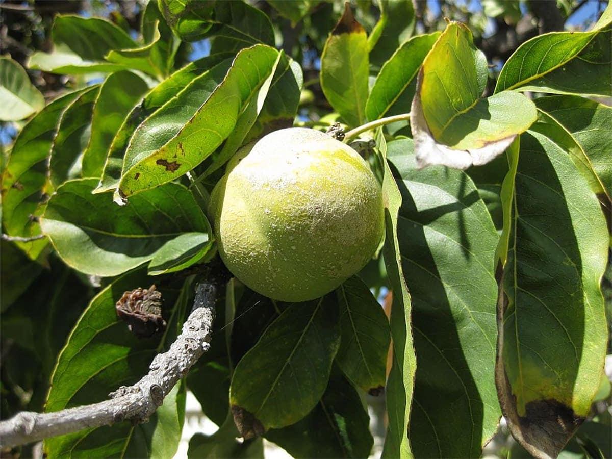 white sapote on tree