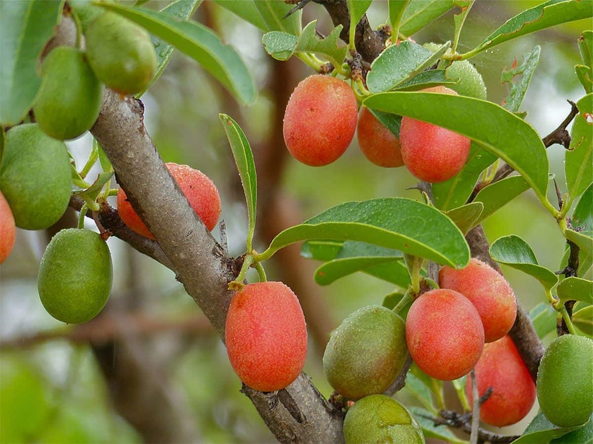 Ximenia Caffra Fruit on tree