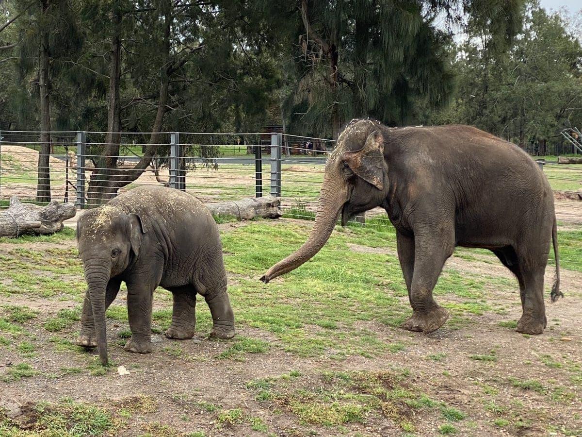 Taronga Western Plains Zoo Dubbo Elephants