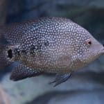 Texas Cichlid 101: Care, Diet, Tank Size, Tank Mates & More