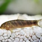 Zebra Loach 101: Care, Diet, Tank Size, Tank Mates and More
