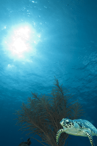 Hawksbill and Soft Coral