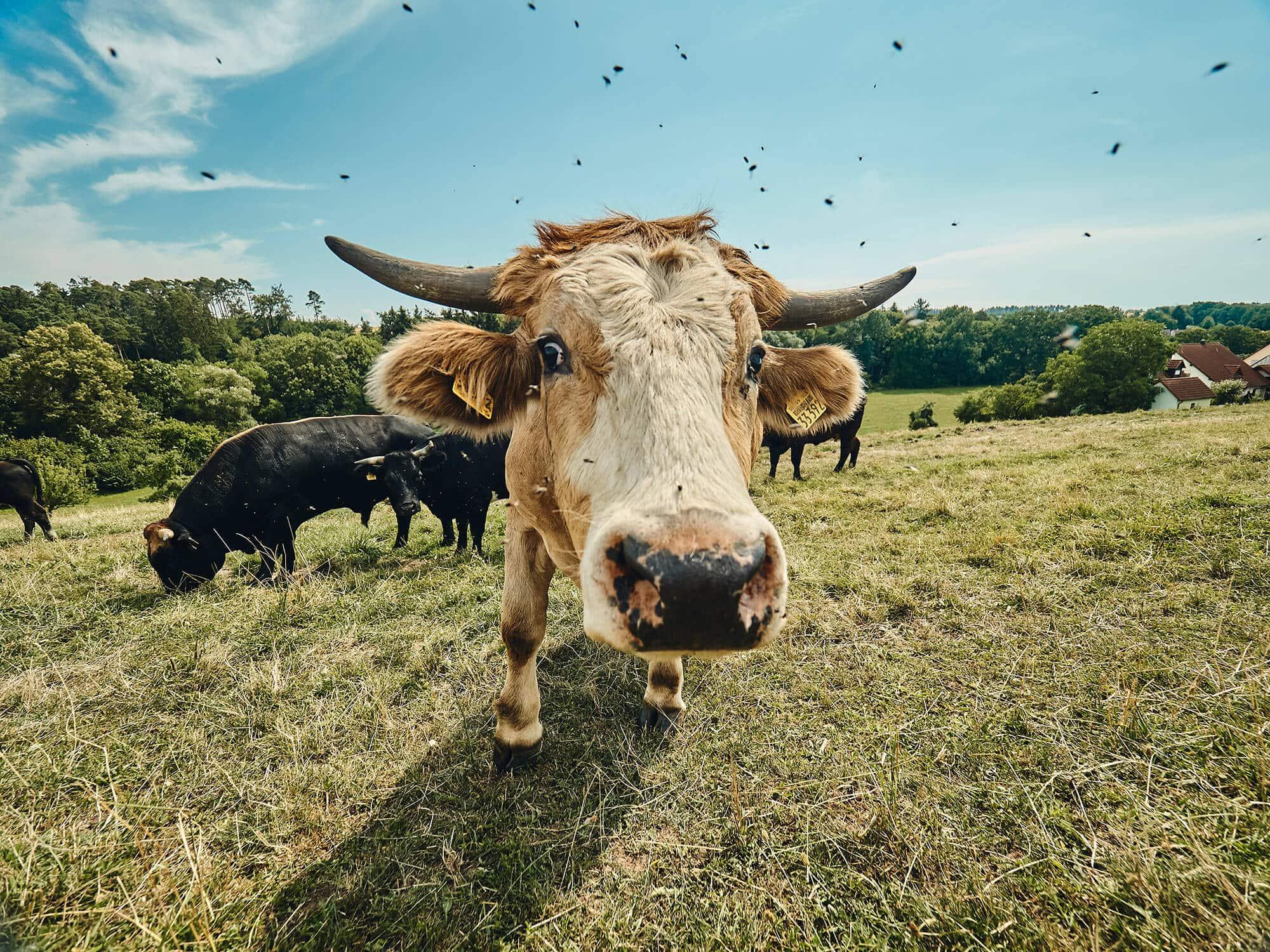 Rinder in Freilandhaltung – Bioland-Bauernhof Fetz