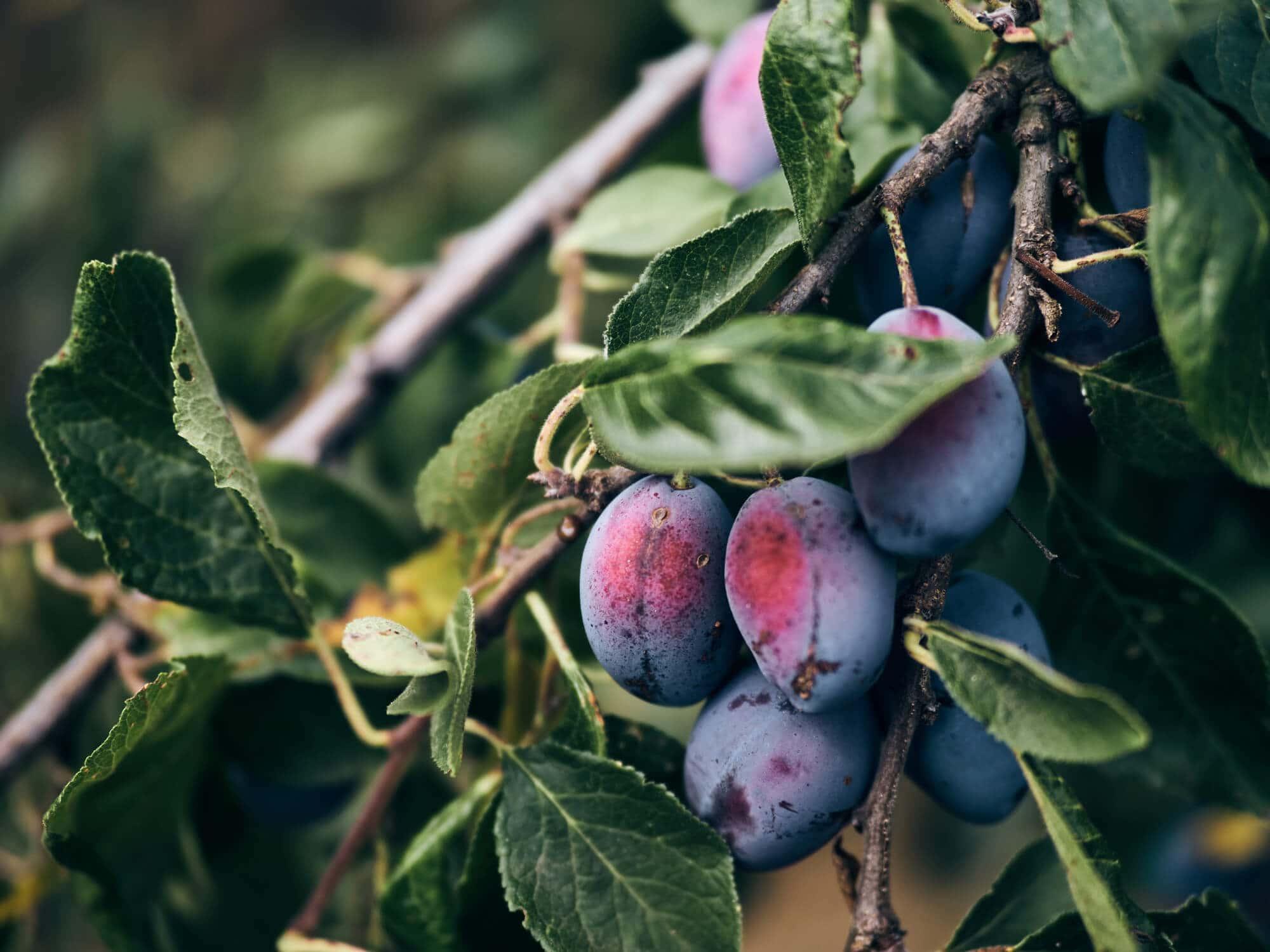 Obst vom Bioland-Bauernhof Fetz