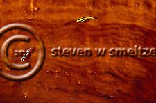 Cleaning Goby, Elacatinus genie, Sharknose Goby, Elacatinus evelynae, Grand Cayman (StevenWSmeltzer.com)