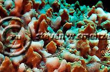 Cleaning Goby, Elacatinus genie, (Böhlke & Robins, 1968), Grand Cayman (StevenWSmeltzer.com)