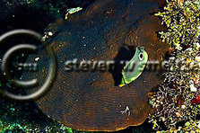 Foureye Butterfly Fish, Chaetodon capistratus, Coral reef, Grand Cayman (Steven Smeltzer)