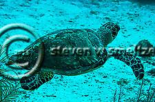 Green Sea Turtle, Seven Mile Beach, Eden Rock, Grand Cayman (Steven Smeltzer)