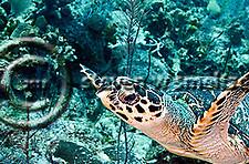 Hawksbill Turtle, Eretmochelys imbriocota, (Linnaeus, 1766), Grand Cayman (Steven W Smeltzer)