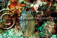 Honeycomb Cowfish, Acanthostracion polygonius, Poey, 1876, Grand Cayman (StevenWSmeltzer.com)