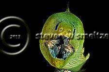 Jaws, Green Moray Eel, Gymnothorax funebris, Ranzani, 1840, Grand Cayman (StevenWSmeltzer.com)