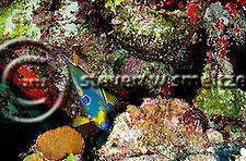 Queen Angelfish, Hoacanthus ciliaris, Grand Cayman (StevenWSmeltzer.com)