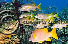 Schoolmaster, Lutjanus apodus, Big Tunnels, Grand Cayman (StevenWSmeltzer.com)