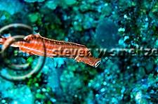 Close up Trumpetfish, Aulostomus maculatus, Grand Cayman (Steven Smeltzer)