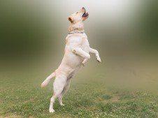 Labrador jumping in a misty field