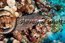 Whitemouth Moray, Gymnothorax meleagris, moray eel photos, Maui Hawaii (Steven Smeltzer)