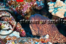 Yellow Margin Moray, Gymnothorax flavimarginatus, Moray eel, photos underwater, snowflake eeel, moray eel photos, Maui Hawaii (Steven Smeltzer)