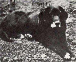 Labrador Retriever History: The St Johns Dog