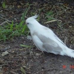 Lost Cockatiel Bird from VIC