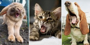Cutest yawning animals you've ever seen: it's contagious