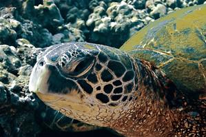 Green Sea Turtle, (Steven Smeltzer)
