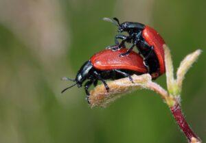ladybug, beetle, insect