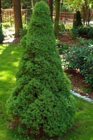 Picea glauca 'Conica' Stl. 100-120 cm
