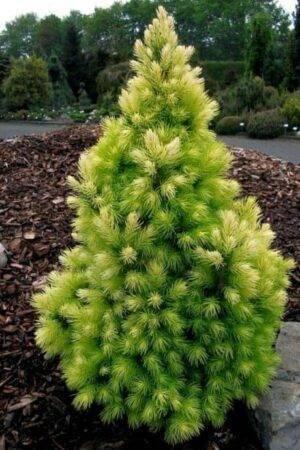 Picea glauca 'Daisy's White' Stl. 60-70 cm