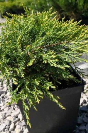 Juniperus ×pfitzeriana 'Pfitzeriana Aurea'