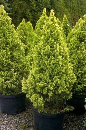 Picea glauca 'Daisy's White' Stl.100-120 cm
