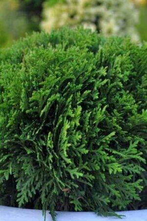 Thuja occidentalis 'Danica' Co2