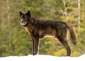 wolf-romeo