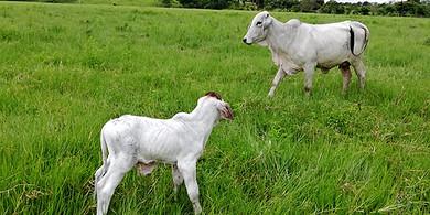 Photo of Programa de inseminación artificial en Yopal arroja excelentes resultados